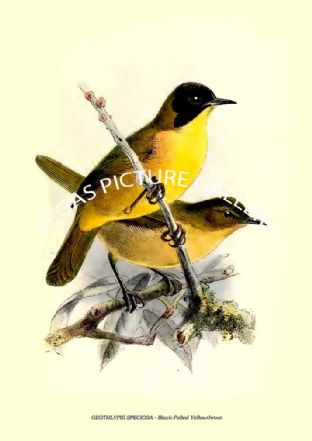 GEOTHLYPIS SPECIOSA - Black-Polled Yellowthroat